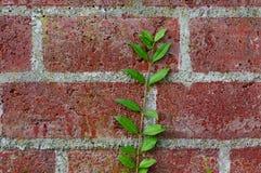 Pianta sul muro di mattoni rosso in una fine su Fotografia Stock