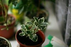 Pianta sulla finestra Alloggi la pianta Immagini Stock Libere da Diritti