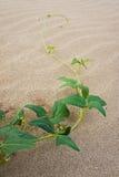 Pianta sulla sabbia a 3000 Bok in Tailandia Immagine Stock