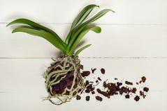 Pianta, suolo, radice e muschio di phalaenopsis dell'orchidea Immagini Stock