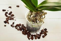Pianta, suolo, radice e muschio di phalaenopsis dell'orchidea Immagine Stock