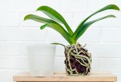 Pianta, suolo, radice e muschio di phalaenopsis dell'orchidea Fotografia Stock