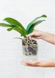 Pianta, suolo, radice e muschio di phalaenopsis dell'orchidea Fotografia Stock Libera da Diritti