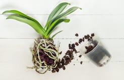 Pianta, suolo, radice e muschio di phalaenopsis dell'orchidea Fotografie Stock Libere da Diritti