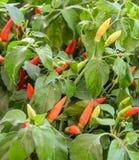 Pianta tailandese del peperoncino rosso Immagini Stock Libere da Diritti