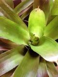 Pianta tropicale Fotografia Stock