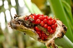 Pianta tropicale con la bacca rossa che guarda i fiori fotografie stock