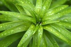 Pianta tropicale con le gocce di pioggia Immagini Stock Libere da Diritti