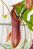 Pianta tropicale del carnivoro di Nepenthe Immagine Stock