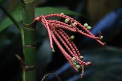 Pianta tropicale della bacca Immagini Stock Libere da Diritti