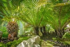 Pianta tropicale della felce in giardino botanico Immagine Stock Libera da Diritti