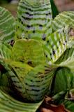 Pianta tropicale della foresta pluviale Immagini Stock