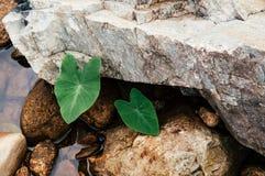 Pianta tropicale di Colocasia, orecchio di elefante, Cocoyam, dasheem, Eddoe fotografia stock libera da diritti
