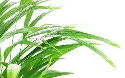 Pianta tropicale dopo pioggia Immagine Stock