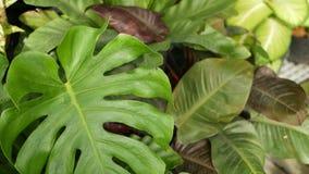Pianta tropicale esotica succosa luminosa in giungla Fondo organico naturale del fuoco selettivo, fogliame insolito della pianta  stock footage
