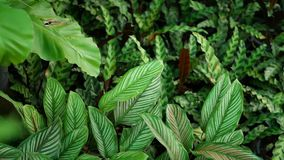 Pianta tropicale esotica succosa luminosa in giungla Fondo organico naturale del fuoco selettivo, fogliame insolito della pianta  archivi video
