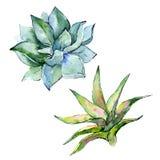 Pianta tropicale Fiore botanico floreale Wildflower selvatico della foglia della molla isolato Immagini Stock Libere da Diritti