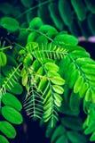 Pianta tropicale, germogli verdi della felce Fotografia Stock