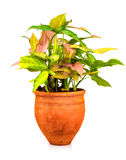 Pianta tropicale piantata su un POT di argilla rossa Fotografia Stock