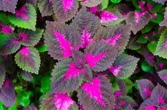 Pianta tropicale verniciata del coleus dell'ortica Fotografia Stock Libera da Diritti