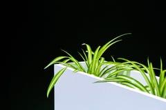 Pianta in un vaso bianco su un fondo nero, progettazione della serra dell'ufficio della stanza fotografia stock