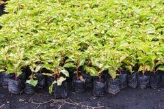 Pianta variegata in scuola materna Fotografie Stock