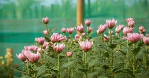 Pianta variopinta del crisantemo del fiore dentro greenh Fotografia Stock