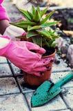 Pianta in vaso decorativa domestica Immagine Stock Libera da Diritti