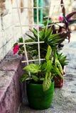 Pianta in vaso decorativa domestica Fotografia Stock Libera da Diritti