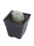 Pianta in vaso del cactus. Fotografia Stock