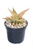 Pianta in vaso del cactus. Fotografia Stock Libera da Diritti