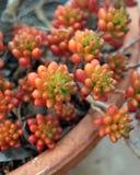 Pianta in vaso del succulente dei fagioli e della carne di maiale Fotografia Stock