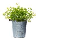 Pianta in vaso della pianta della Camera isolata su bianco immagini stock libere da diritti