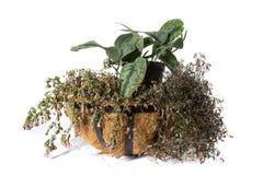 Pianta in vaso della pianta della Camera isolata su bianco fotografie stock libere da diritti