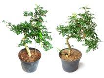 Pianta in vaso della pianta della Camera su fondo bianco Fotografie Stock Libere da Diritti