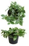 Pianta in vaso della pianta della Camera su fondo bianco Fotografia Stock