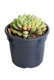 Pianta in vaso succulente. fotografia stock