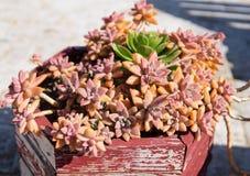 Pianta in vaso succulente rossa di echeveria immagini stock
