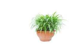 Pianta in vaso verde, alberi nel vaso isolato su bianco Fotografie Stock Libere da Diritti