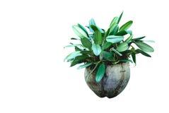 Pianta in vaso verde, alberi nelle coperture della noce di cocco isolate su bianco Fotografia Stock
