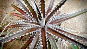 Pianta Vera del tipo di dell'aloe di Brown nella sabbia Fotografia Stock