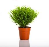 Pianta verde Immagini Stock Libere da Diritti