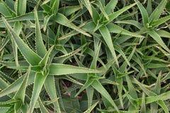 Pianta verde Immagini Stock