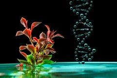 Pianta verde in acqua azzurrata con le gocce di caduta della spruzzata una molecola del DNA isolata su un fondo nero Immagine Stock