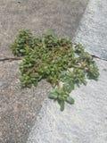 Pianta verde che cresce in crepa fotografia stock