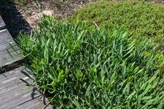 Pianta verde che cresce dal percorso che conduce al mare cyprus Immagini Stock