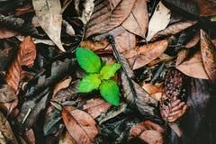 Pianta verde che cresce fra le foglie asciutte Immagini Stock Libere da Diritti
