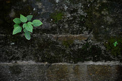 Pianta verde che cresce in parete di pietra Immagini Stock