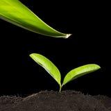 Pianta verde con goccia di acqua Fotografie Stock Libere da Diritti