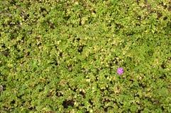 Pianta verde con il fiore Immagini Stock Libere da Diritti